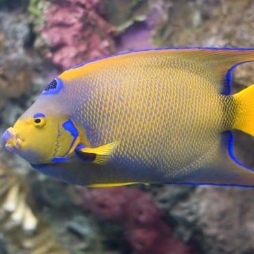 Queen Angelfish close up in aquarium