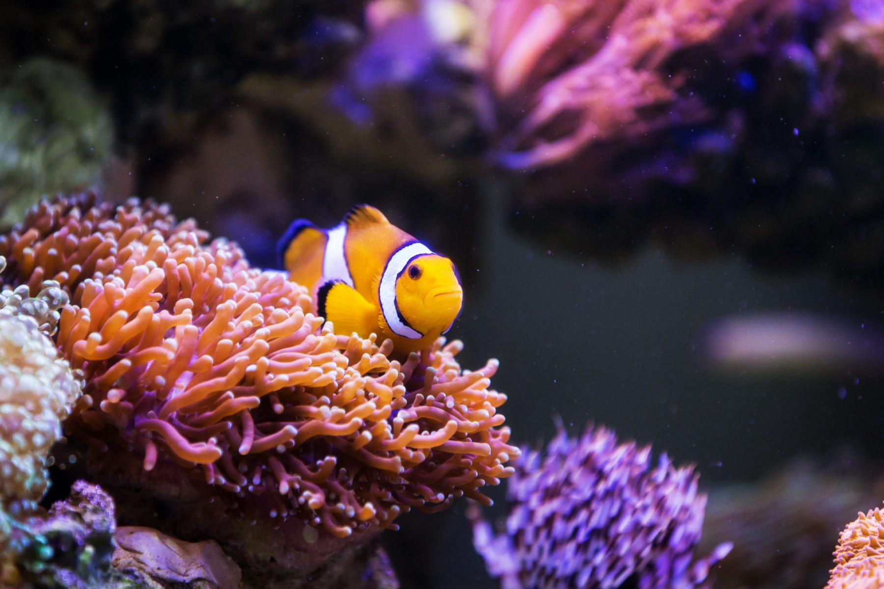 Clownfish close up sitting in orange anemone