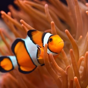 Clownfish in orange anemone