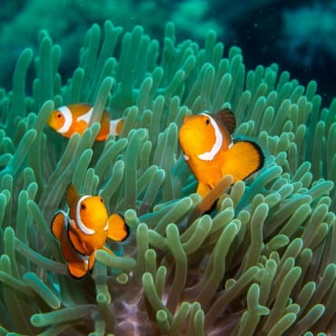 group of clownfish in green anemone