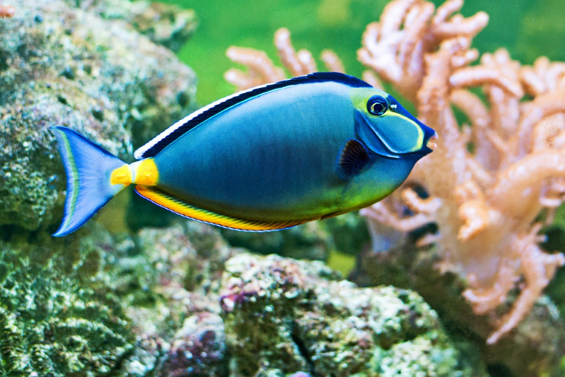 Bright blue Naso Tang close up in aquarium