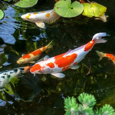 Colorful decorative fish float in an artificial pond view from above