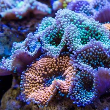 bright and beautiful Ricordea florida in aquarium