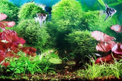 decorative planted aquarium with white angelfish