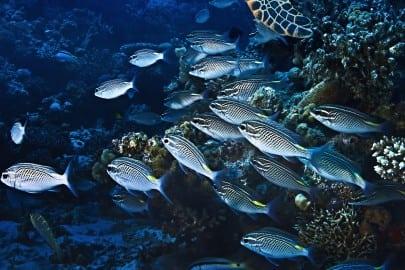 school of small silver fish by sea turtle