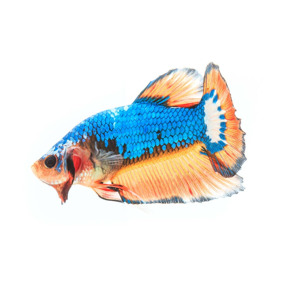 blue and orange Betta Fish or Siamese Fighting Fish in tank