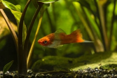Livebearer Swordtail fish in an aquarium