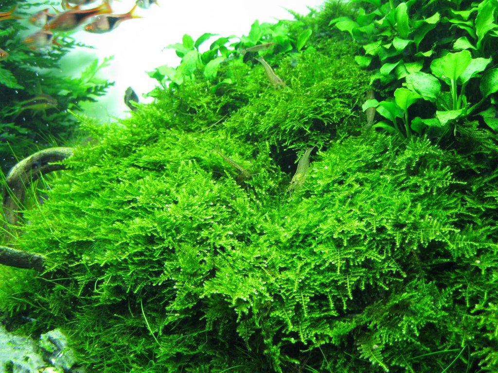 Christmas moss in aquarium