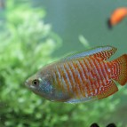 Keeping Dwarf Gourami