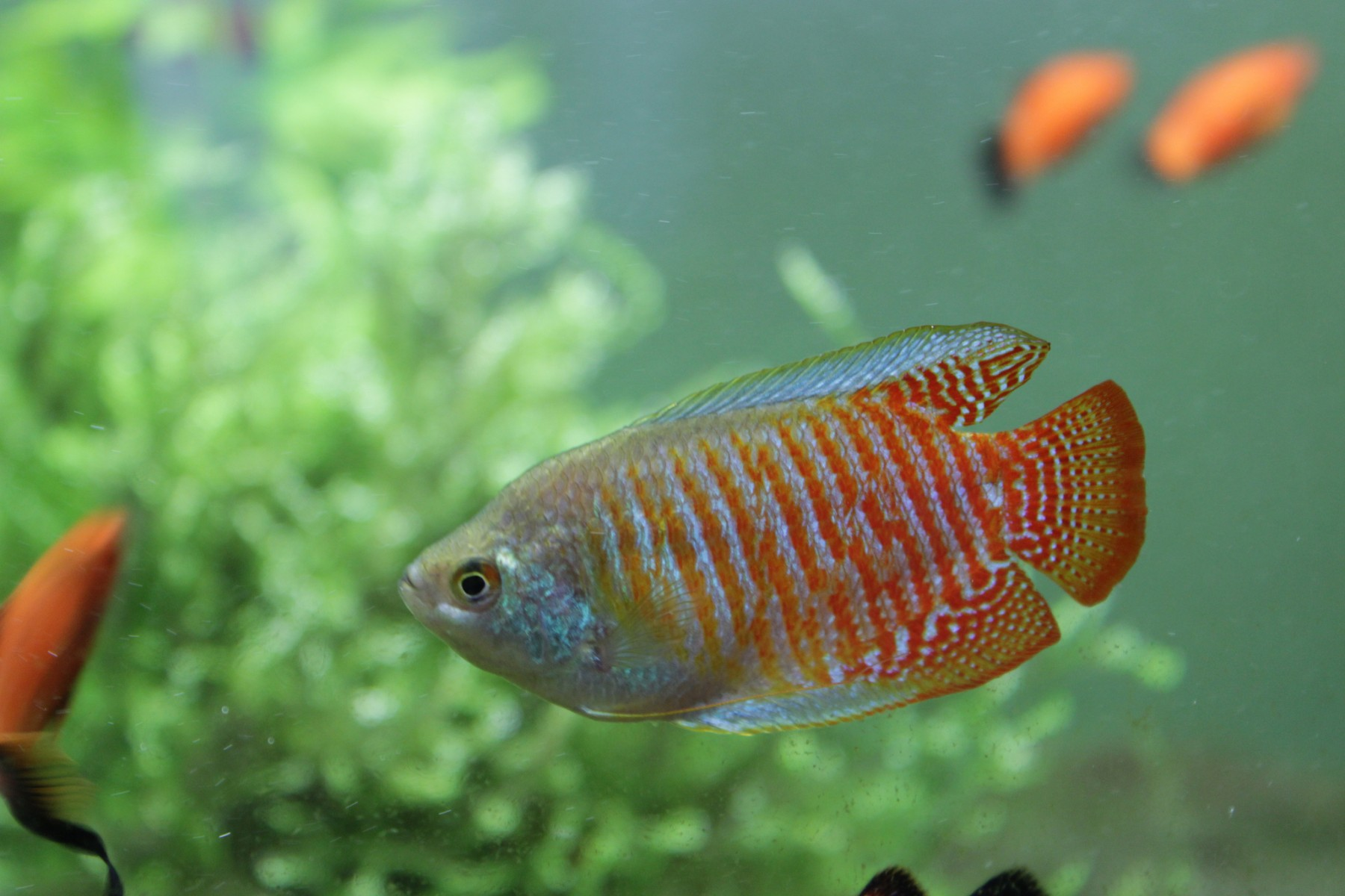 red Dwarf Gourami close up in aquarium