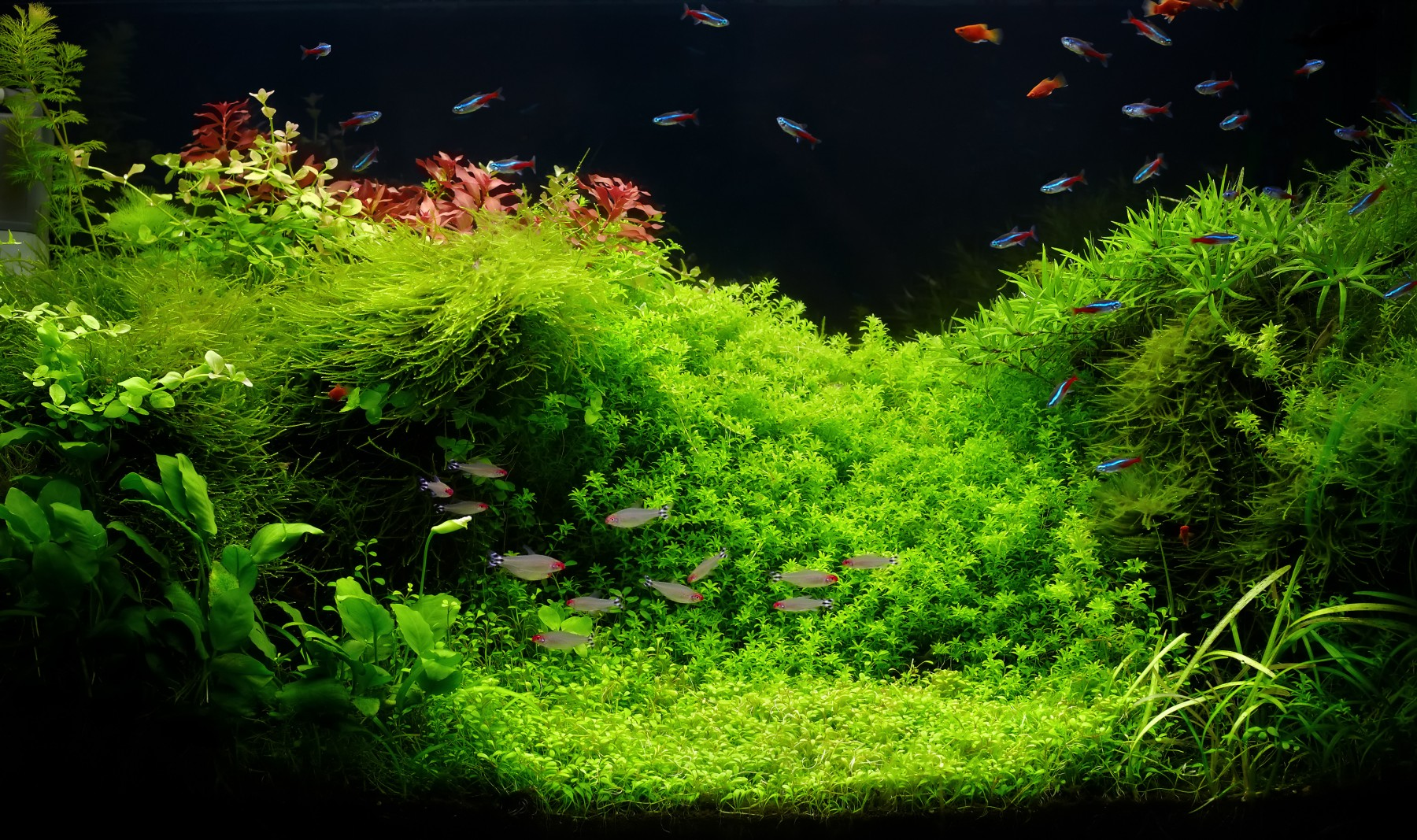 Freshwater custom aquarium in Amano style with little characins