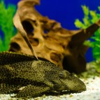 5 Fascinating Plecostomus Catfish Species