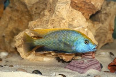 Venustus Cichlid close up in rocky aquarium