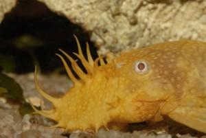 bristlenose pleco on bottom of aquarium