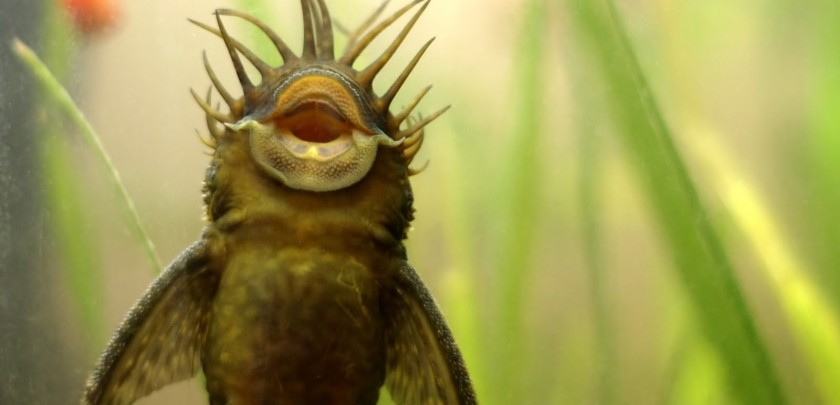 bristlenose pleco on aquarium class