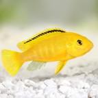Caresheet: Electric yellow cichlid (Labidochromis caeruleus)