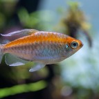 Congo Tetra Care & Information