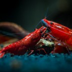 Freshwater Aquarium: Shrimp for Beginners