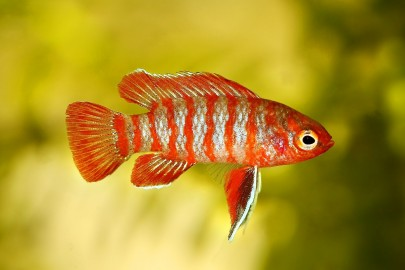 Scarlet badis fish close up