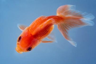 Goldfish close up swimming