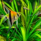 Tankmates for Angelfish
