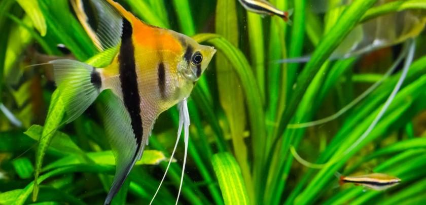 Close up of Angel fish