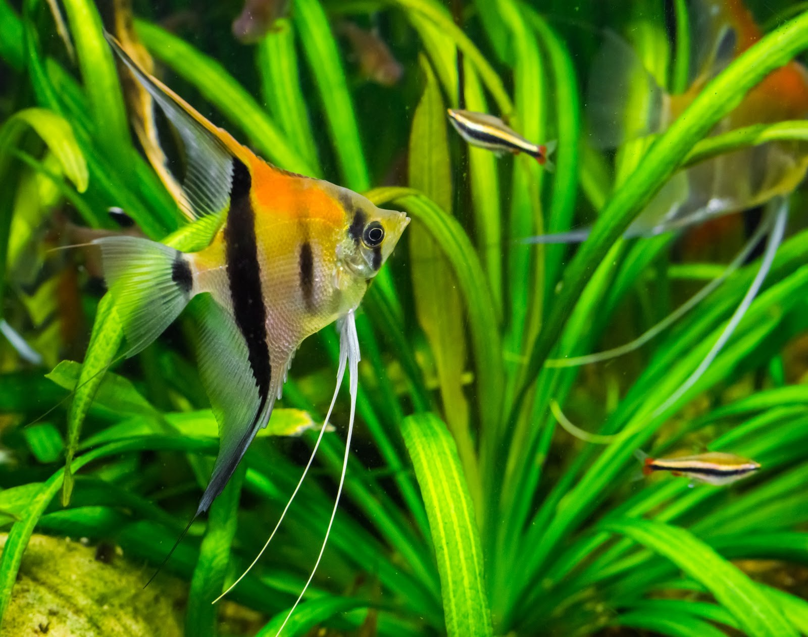 Angelfish swimming in freshwater tank