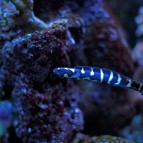Engineer Goby Care & Info