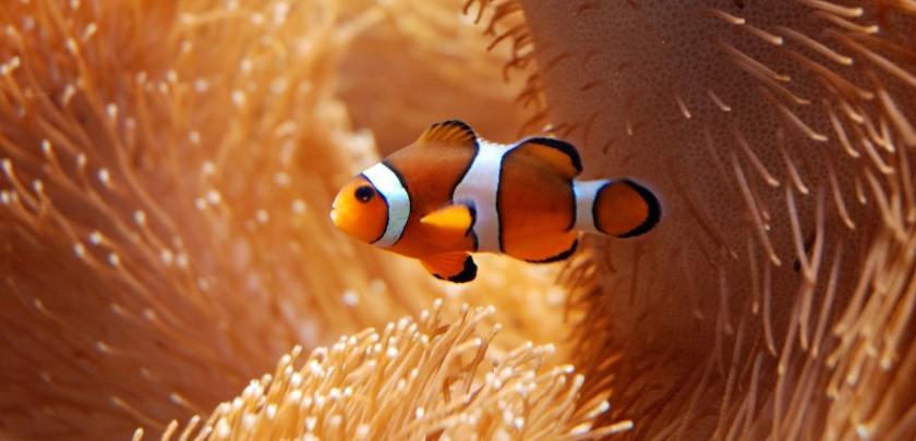 Ocellaris Clown fish sitting in anemone close up