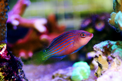 Six line wrasse swimming in tank close up