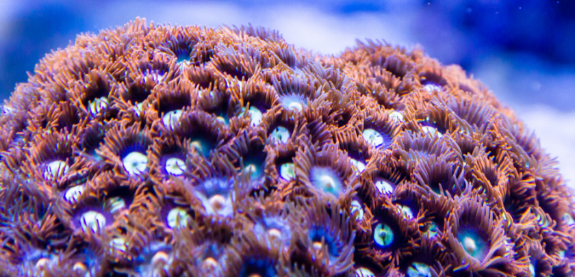 more Zoanthid care & info