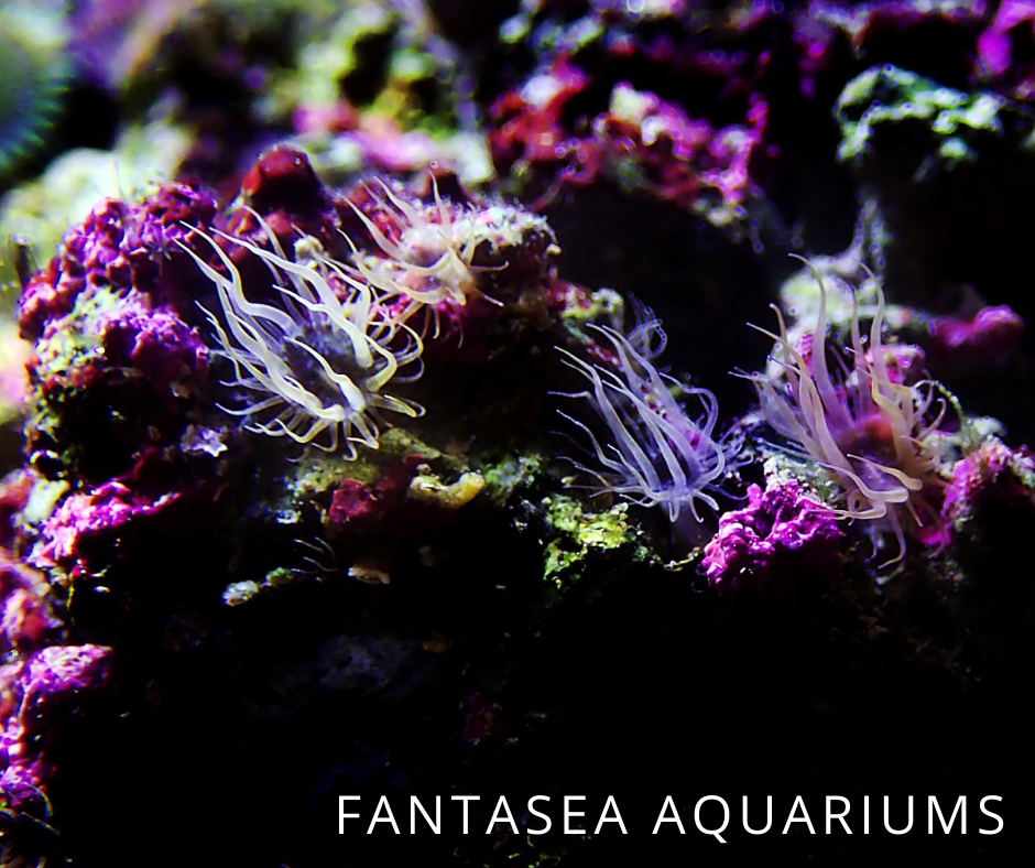 Glass anemone up close in aquarium