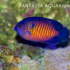 Coral Beauty Angel Fish | Centropyge Bispinosa Care & Info