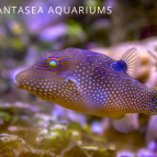 What Do Puffers Eat? | All About Pufferfish Diet