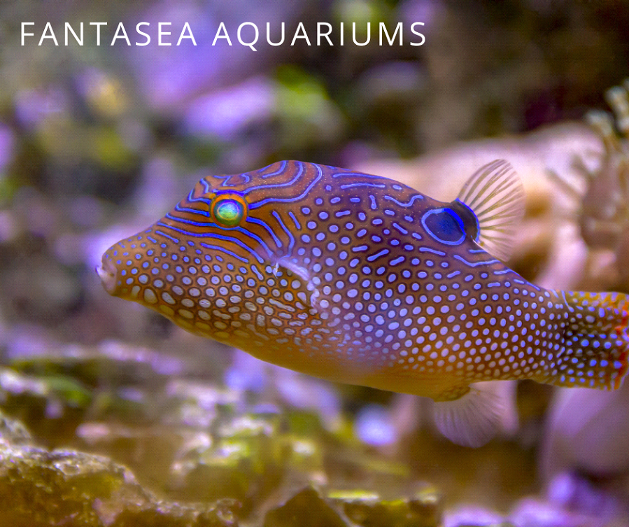 Unpuffed yellow and white spotted pufferfish swimming in front of coral