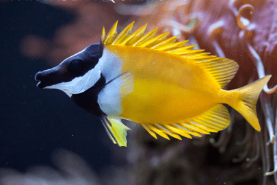 Yellow, black, and white Fox Faced Rabbit Fish swimming by coral