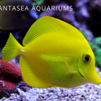 Yellow Tang Care & Info | Zebrasoma Flavescens