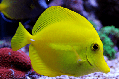 Large Yellow Tang swimming in front of red and green coral reefs