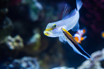 Blue Streak Cleaner Wrasse swimming next to a larger fish in front of a coral reef