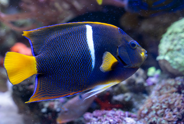 Blue and yellow King Angelfish swimming in front of a coral reef