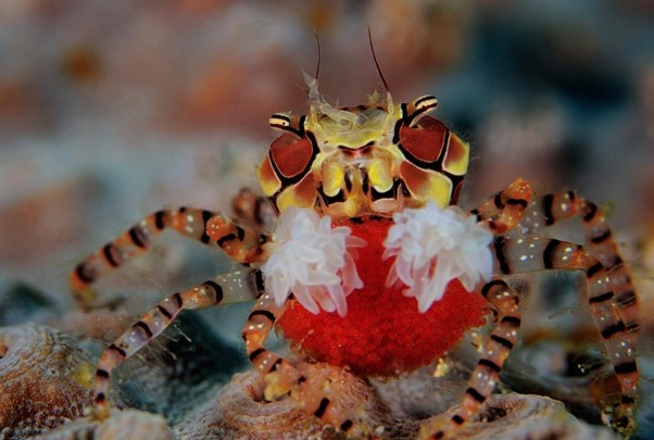 Red, yellow, and black Pom Pom Crab seated on a coral reef