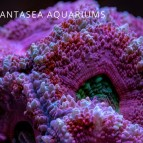 Acan Coral Care | Acanthastrea