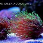 Torch Coral Care & Info | Euphyllia glabrescens