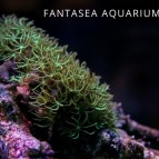 Green star polyp coral | Pachyclavularia violacea care & info